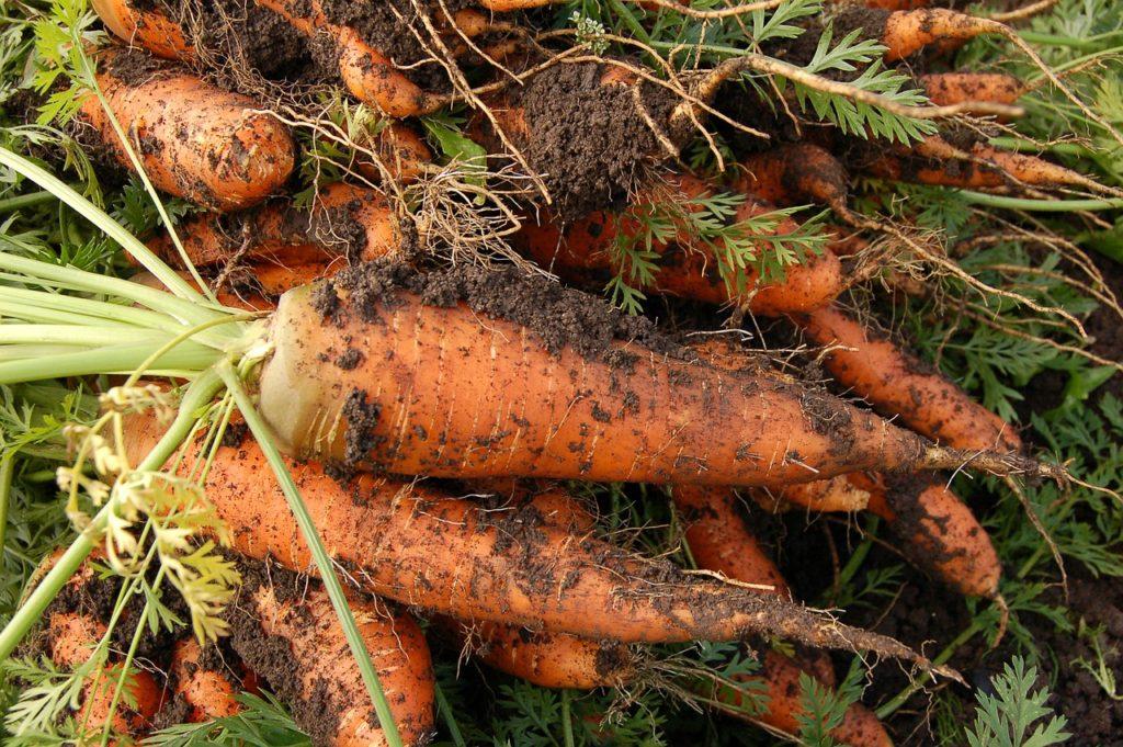 присыпка песком морковки