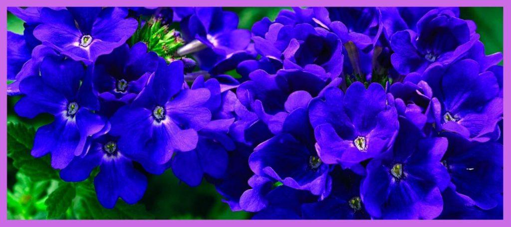 Вербена - синяя ночь