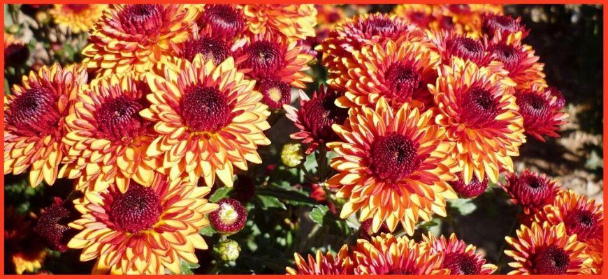 Среднецветковые хризантемы