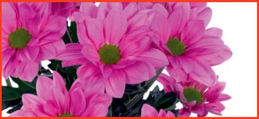 Хризантема Гранд Пинк (Grand Pink)