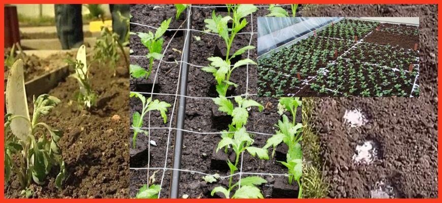 Как сажать хризантему