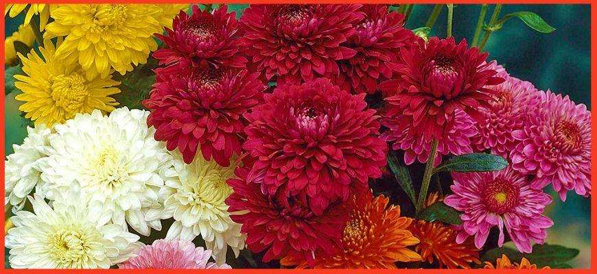 Разновидности многолетних хризантем