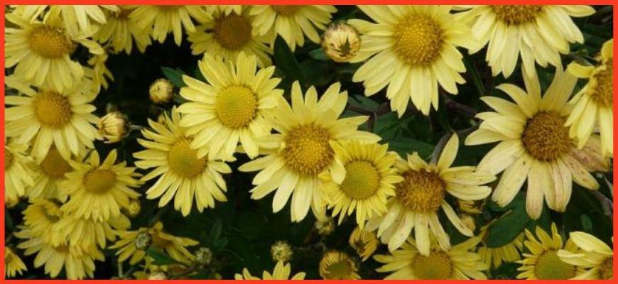 Хризантема посевного типа и сорта к ней принадлежащие