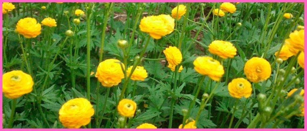 Едкий лютик луговой(Ranunculus acris)