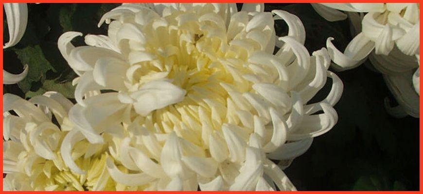 Китайские сорта хризантем