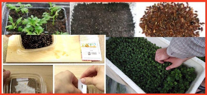 Семенной способ посадки хризантем