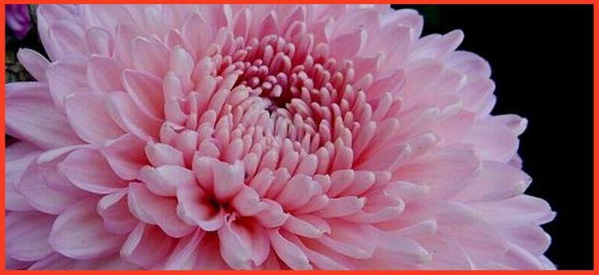 Хризантема Розовый фламинго (Flamingo Pink)