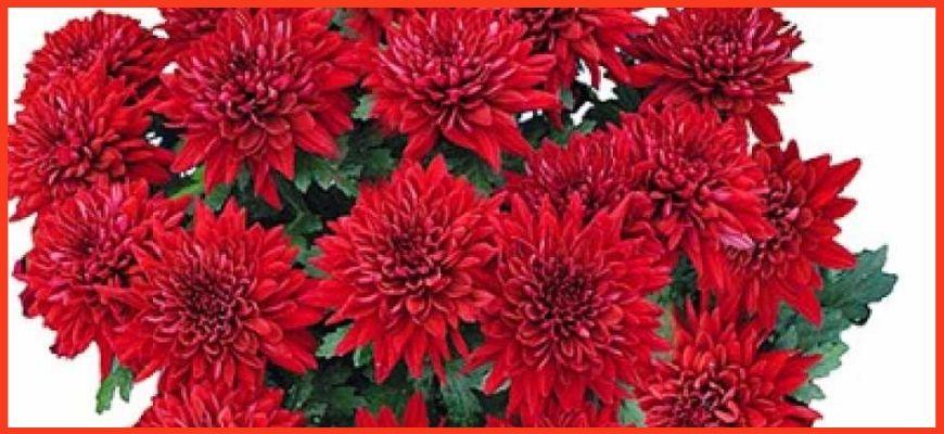 Хризантема Делано Ред (Delano Red)