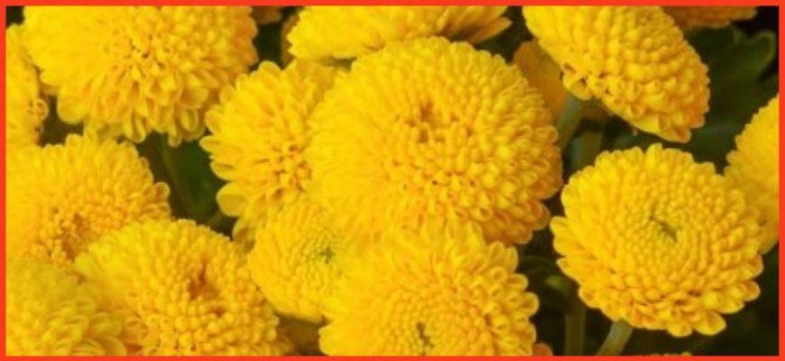 Хризантема девичья Голден Бол (Golden Ball)
