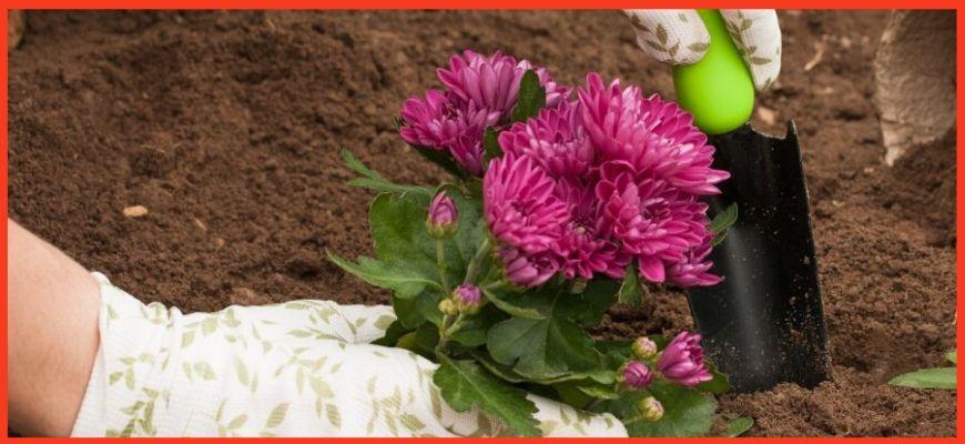Уход за хризантемой