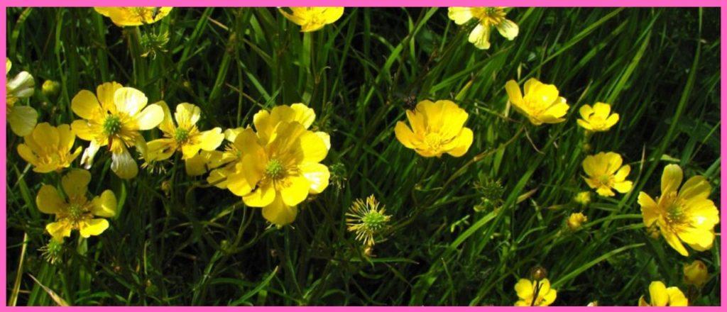 Многоцветковый лютик (Ranunculus polyanthemos)