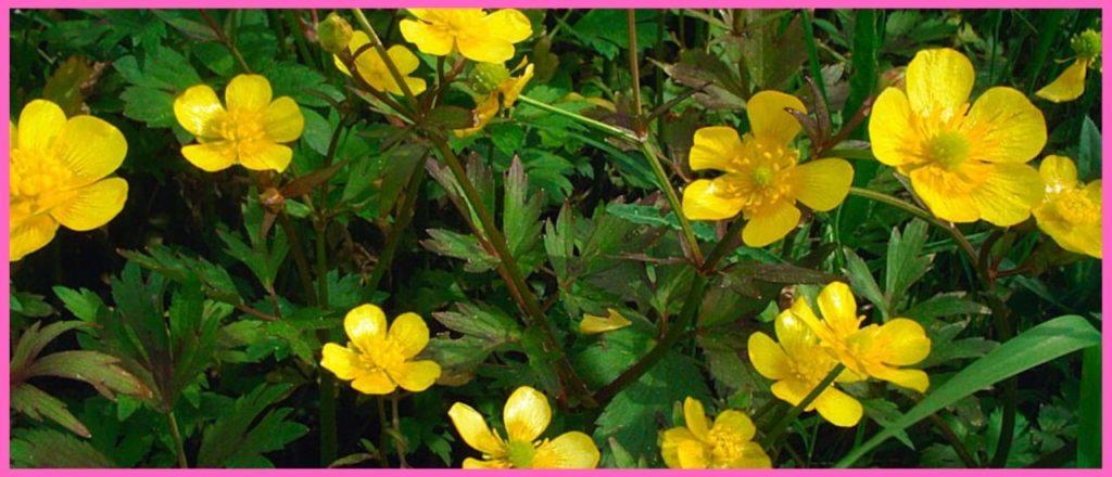 Ползучий полевой лютик (Ranunculus repens)