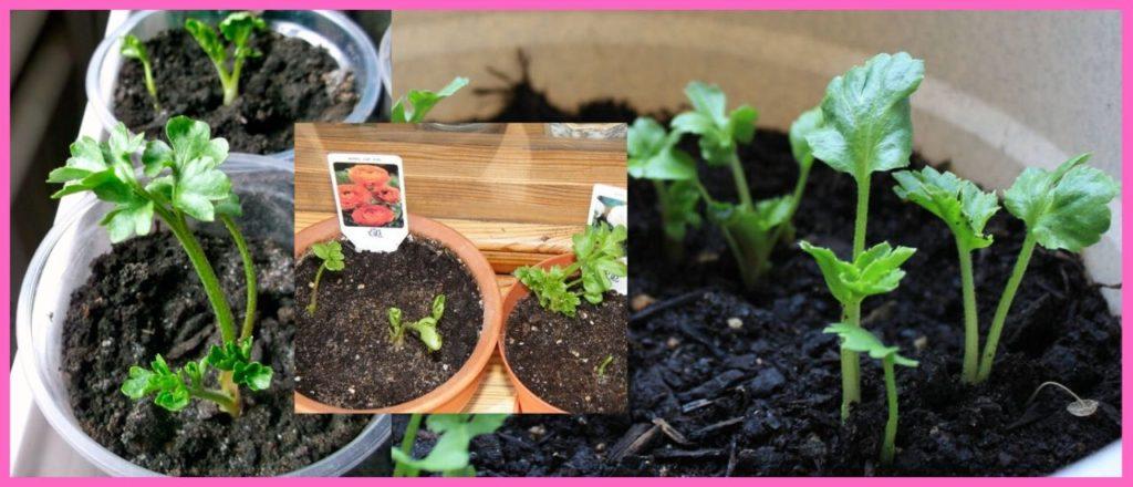 Выращивание ранункулюс из семян через рассаду