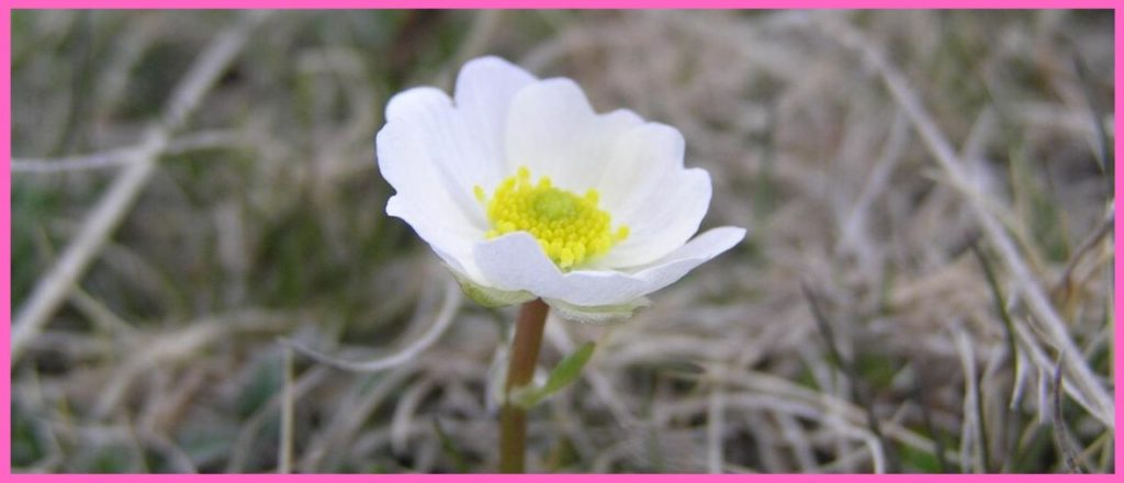 Лютик альпийский (alpestris)