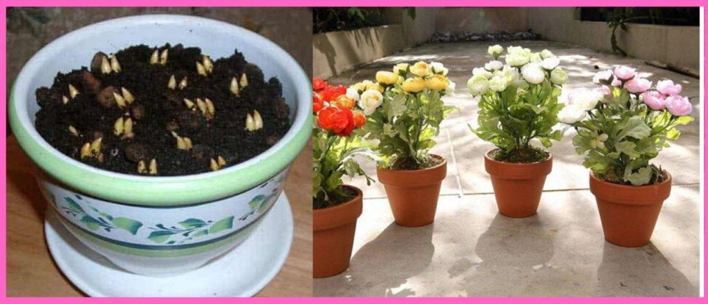 Посадка клубней ранункулюса в горшок в домашних условиях с проращиванием